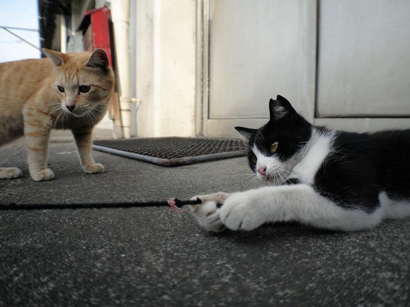 ゴム紐に興味津々の茶トラ猫と黒白猫1