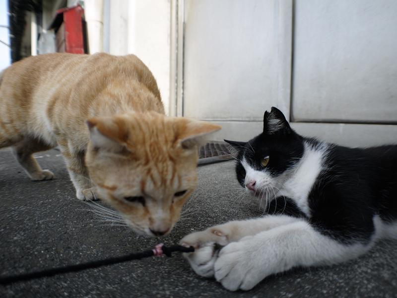 ゴム紐に興味津々の茶トラ猫と黒白猫2