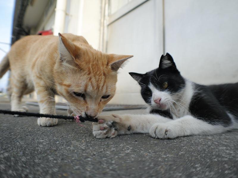 ゴム紐に興味津々の茶トラ猫と黒白猫3