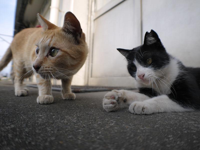 ゴム紐に興味津々の茶トラ猫と黒白猫4