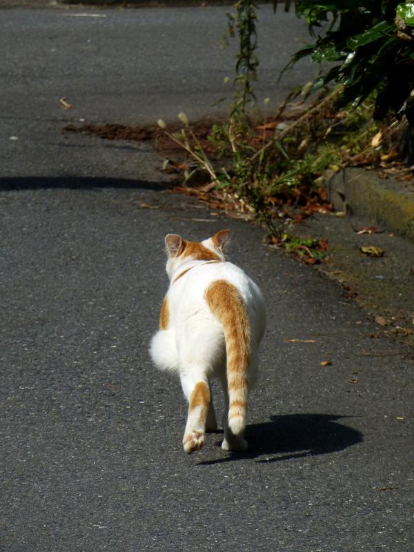 路地を走る白茶猫4
