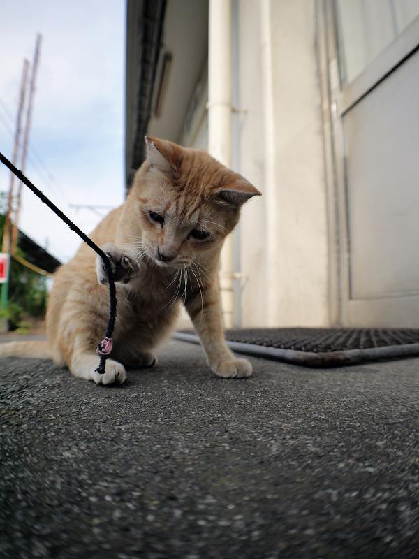 ゴム紐を咥える茶トラ猫1