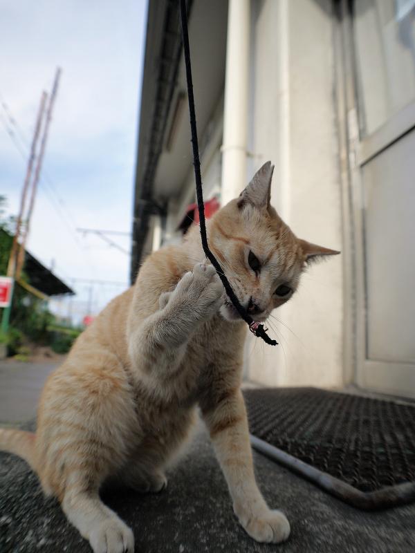 ゴム紐を咥える茶トラ猫2