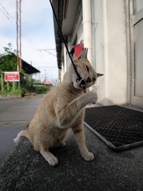 ゴム紐を咥える茶トラ猫3