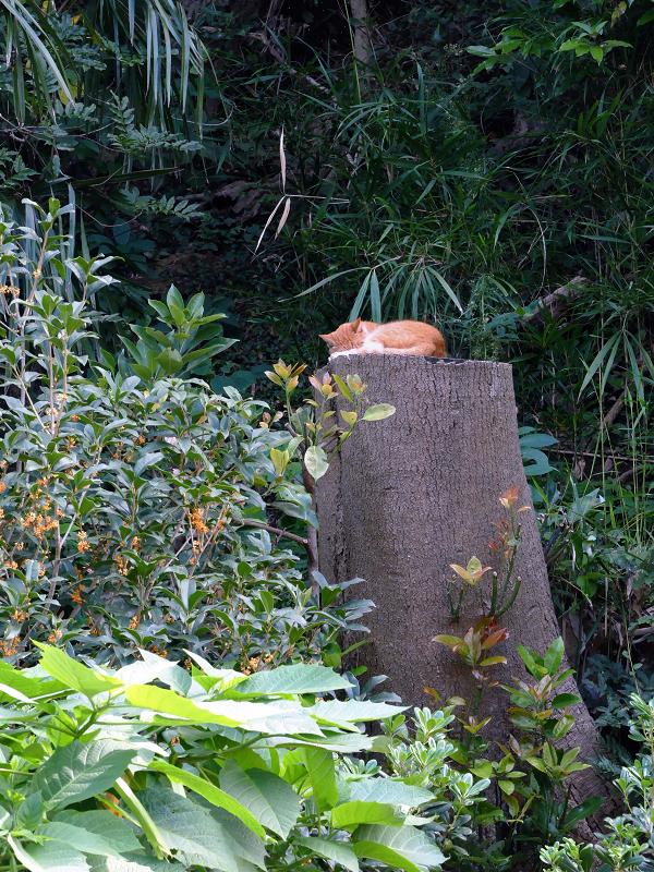 大木の切り株で寝ている茶白猫