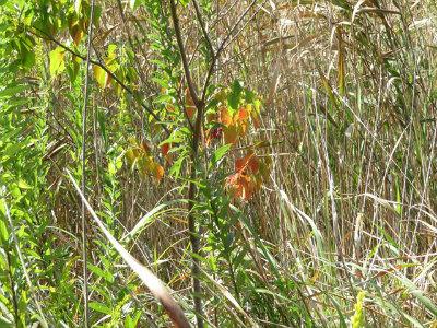 5 ナンキンハゼの紅葉