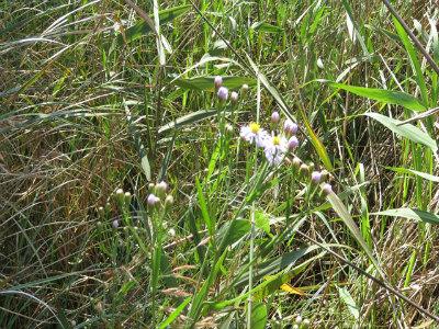7 ウラギクの花