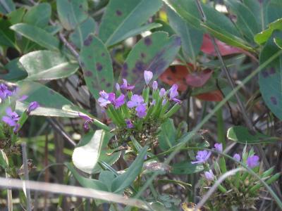 9 ハマナデシコの花