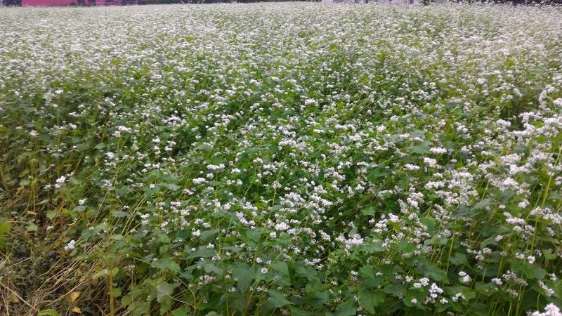 宇都宮 蕎麦の花