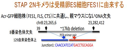 FI幹細胞の欠失