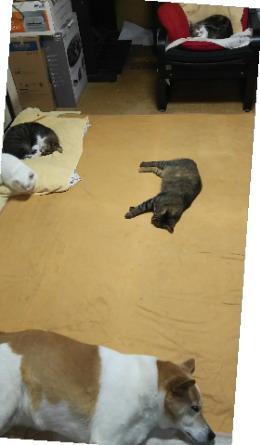 2階で寝る内猫4匹と犬