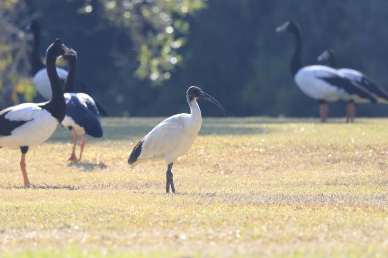 EN3A2067オーストラリアクロトキAustralian White Ibis1