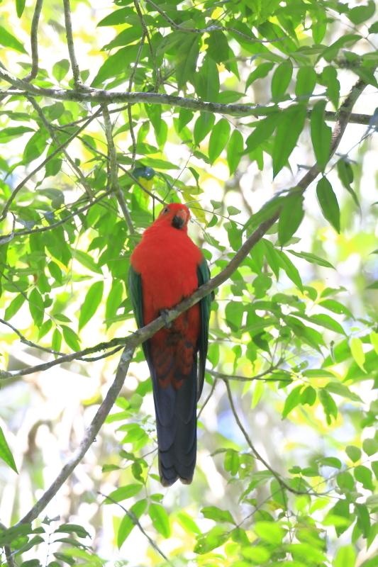 EN3A2471キンショウジョウインコAustralian-parrot1