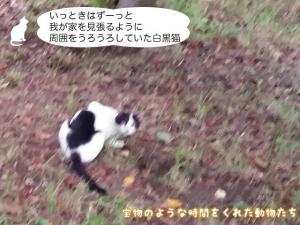 いっときはずーっと我が家を見張るように周囲をうろうろしていた白黒 猫