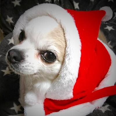 17クリスマスチワワロングエンゾーうぃんくるむ