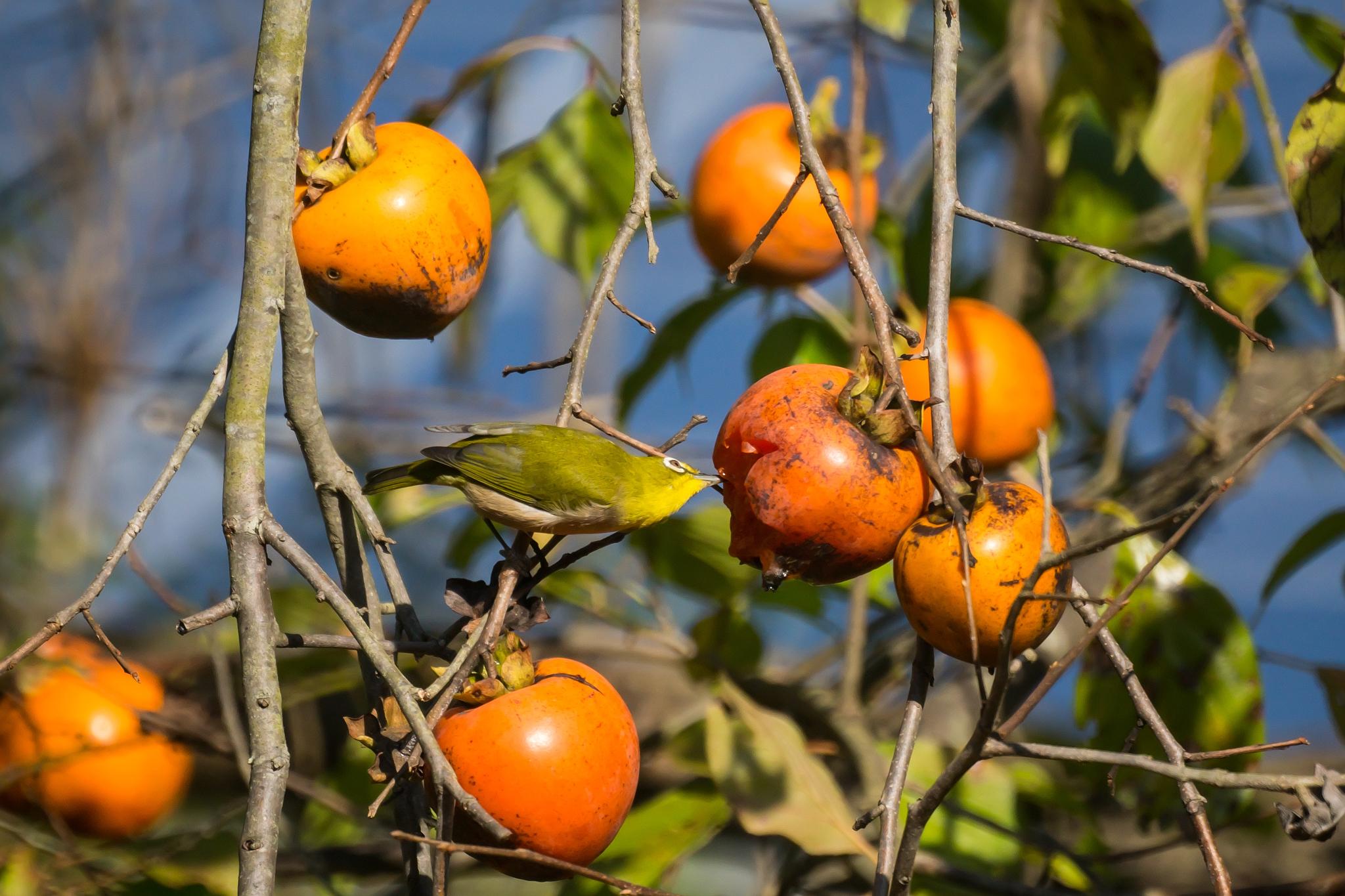 柿を食べるメジロさん (10Pic)