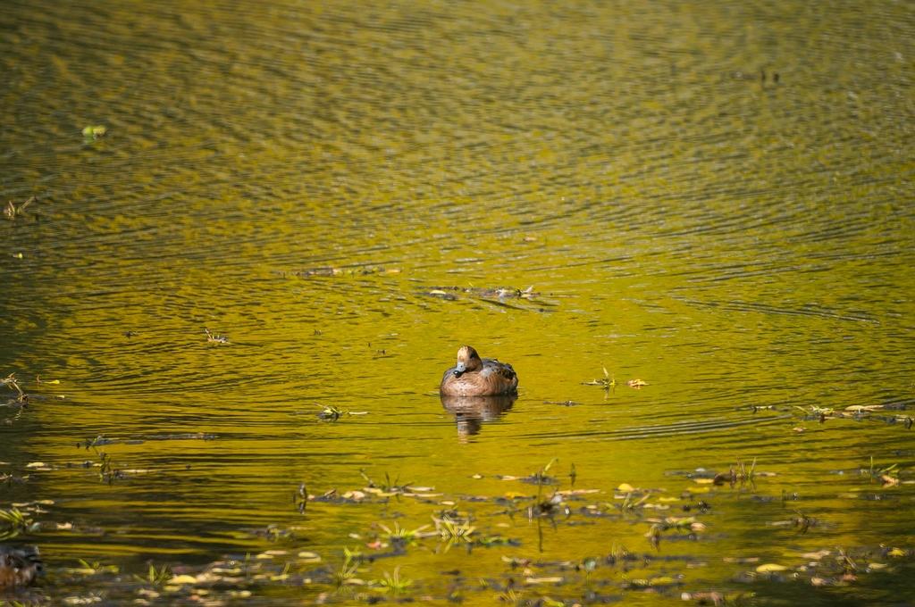 ヒドリガモさんと秋色の池 (10Pic)