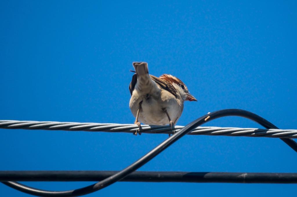 電線の上のニュウナイスズメさん (15Pic)