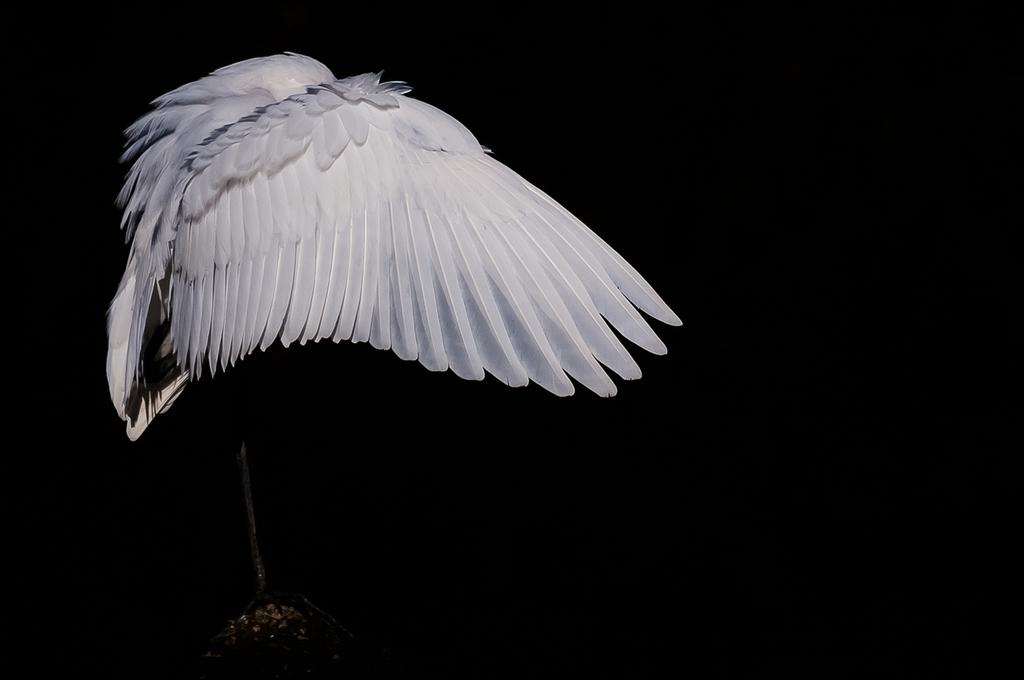 白色系の鷺の皆様ハイライト① (15Pic)