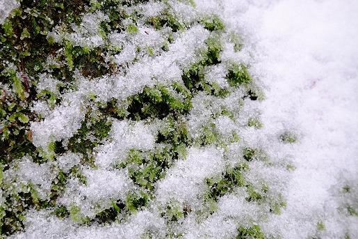12月12日 雪に埋もれていく苔