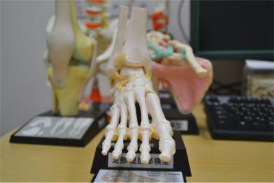 足の骨格模型