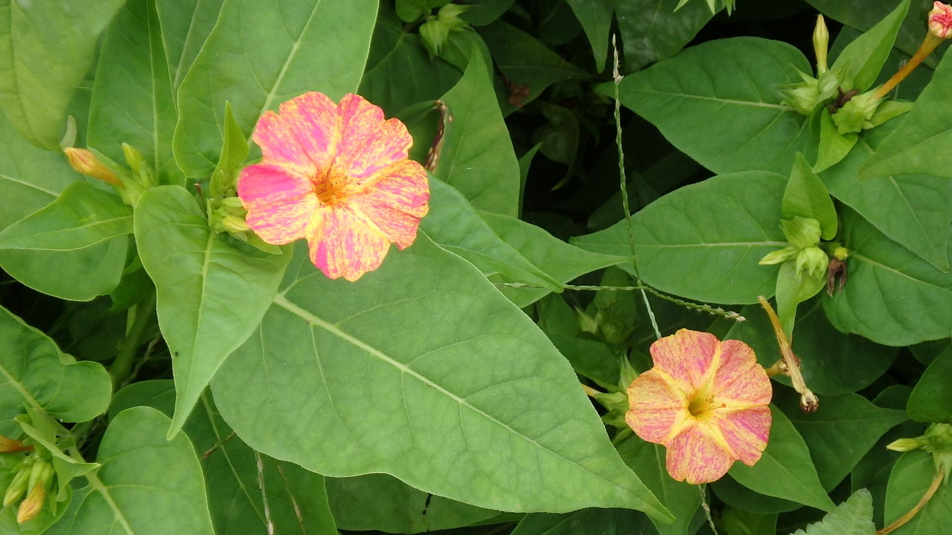 オシロイバナ(白粉花)PA062150