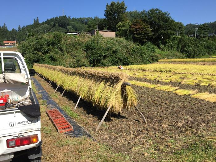 農繁期  2017年 秋  コシヒカリ 稲刈り  1