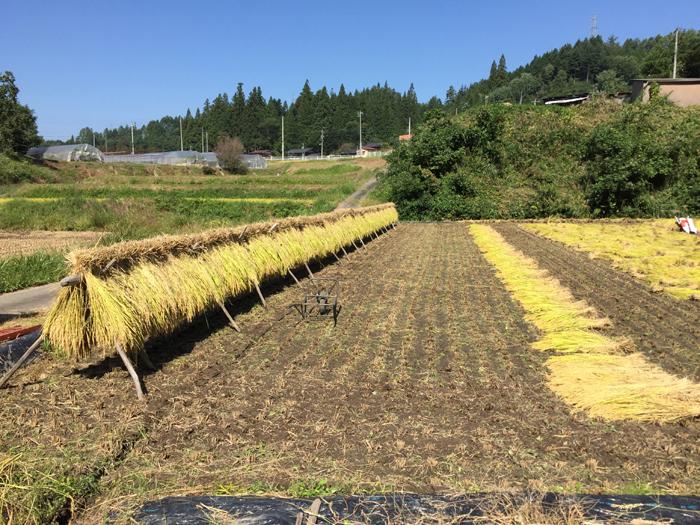 農繁期  2017年 秋  コシヒカリ 稲刈り  2