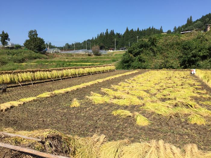 農繁期  2017年 秋  コシヒカリ 稲刈り  3