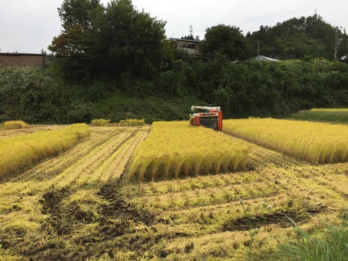 農繁期  2017年 秋  コシヒカリ 稲刈り  4