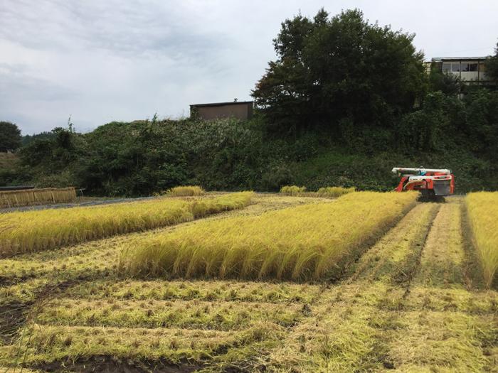 農繁期  2017年 秋  コシヒカリ 稲刈り  7