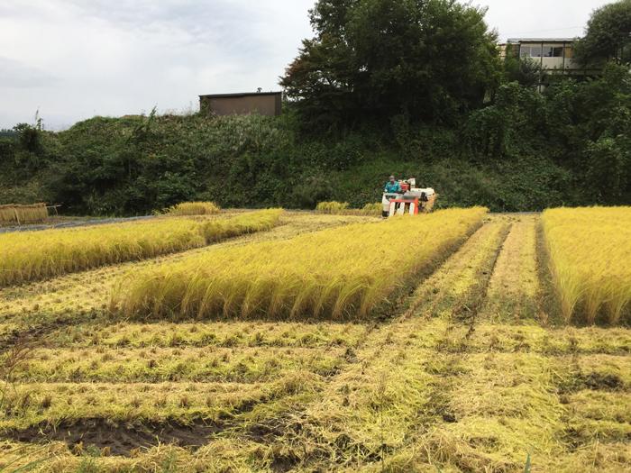 農繁期  2017年 秋  コシヒカリ 稲刈り  6