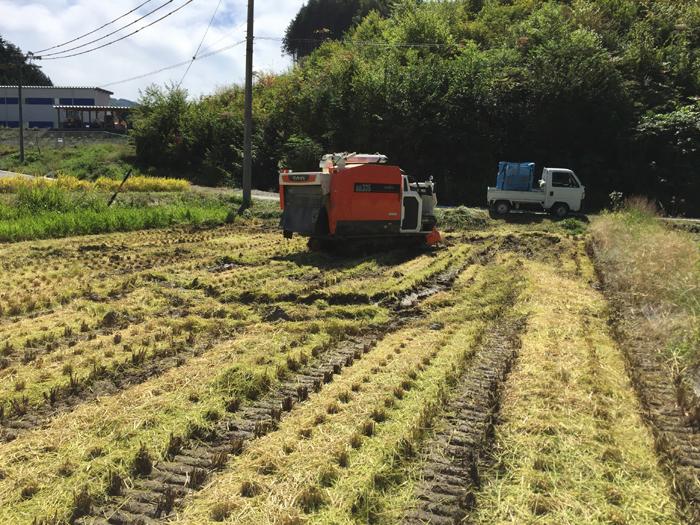 農繁期  2017年 秋  コシヒカリ 稲刈り 8
