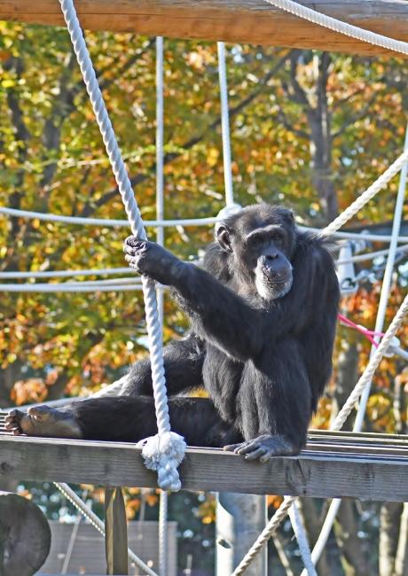 12756-チンパンジーー2