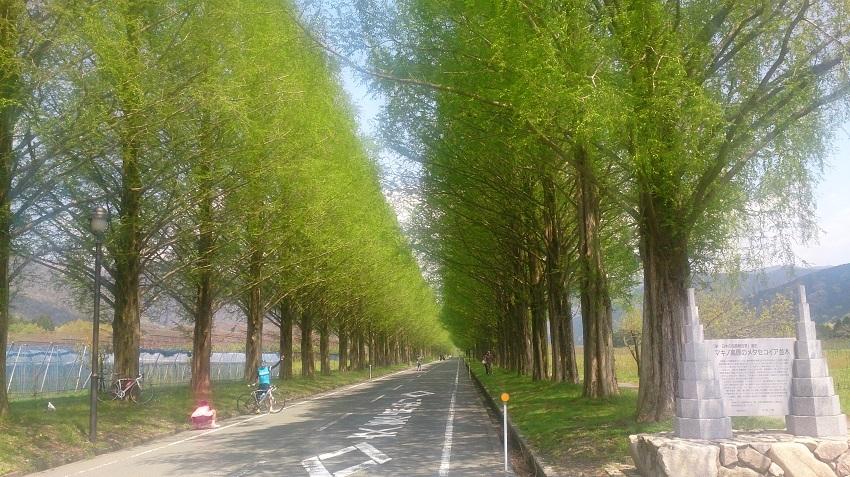 メタセコイア並木1