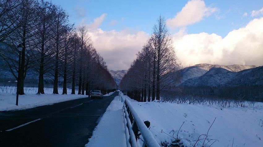 メタセコイア並木 冬1