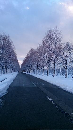 メタセコイア並木 冬2