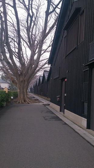 山居倉庫 ケヤキ並木1
