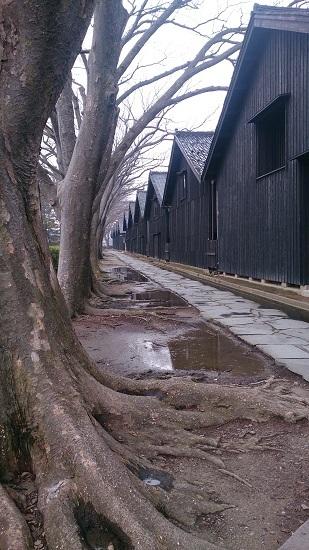 山居倉庫 ケヤキ並木3