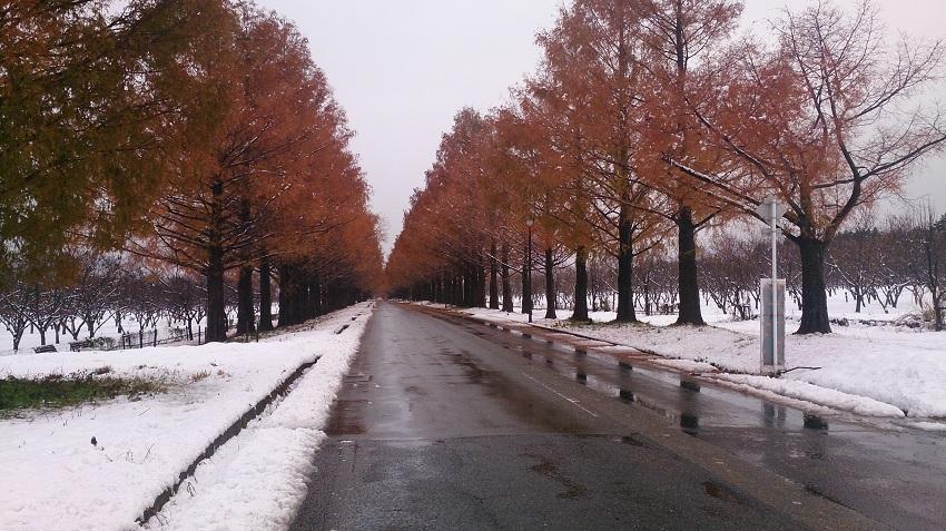 メタセコイア並木 秋冬2