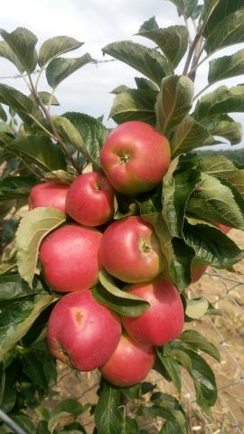 りんご密集