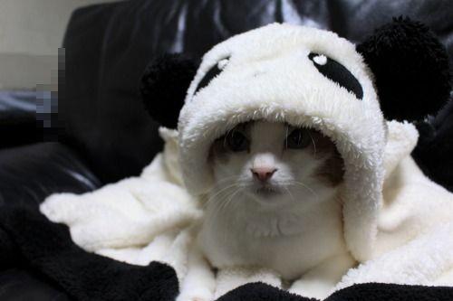 ブログNo.1087(パンダ猫)1