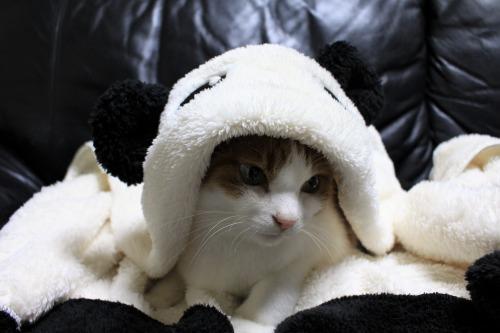 ブログNo.1087(パンダ猫)2