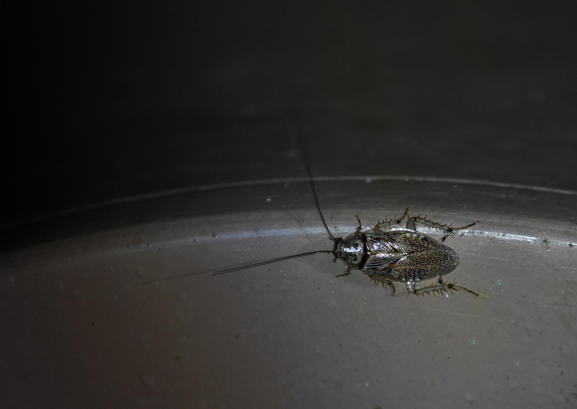 アミメヒラタゴキブリ