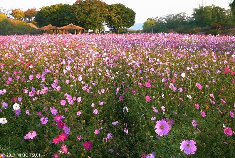 絶景探しの旅 - 0395 空の公園のコスモス畑 (ハヌル公園/ソウル市 麻浦区)